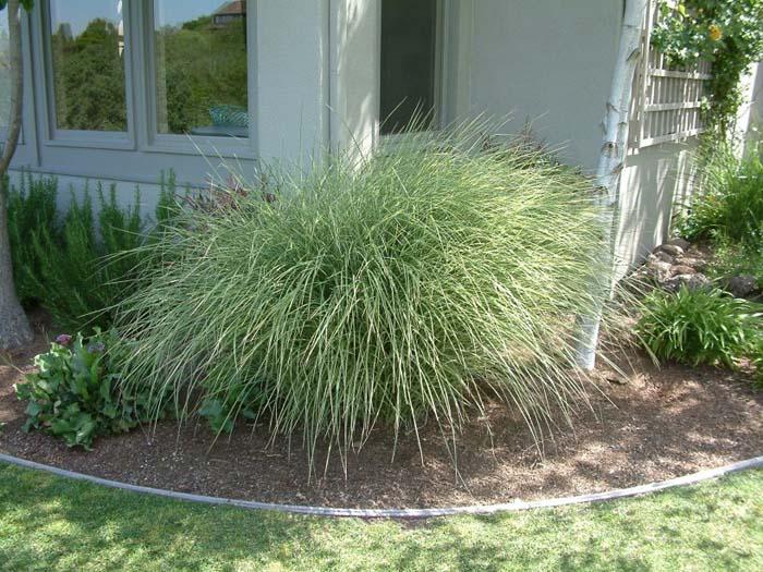 Morning Light Silver Grass
