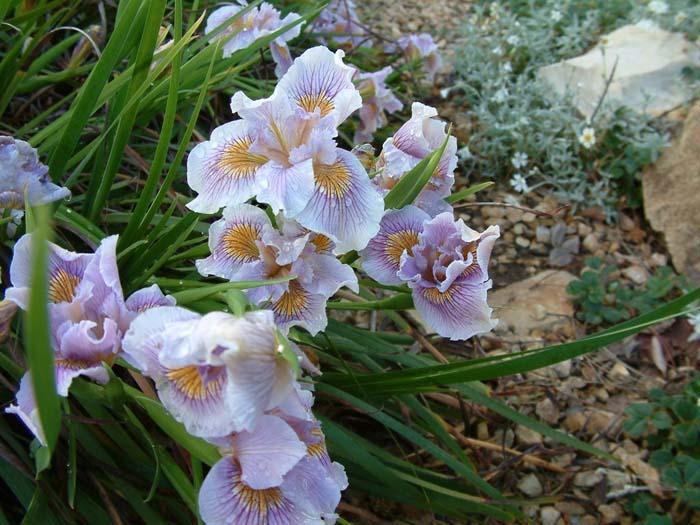 Pacific Coast Irises